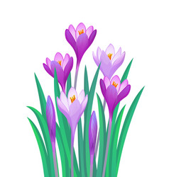 Bouquet of crocuses vector