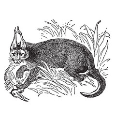 Caracal with prey vintage vector