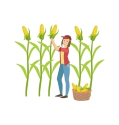 Woman collecting ripe corn vector