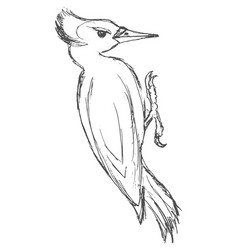 Sketch of black woodpecker vector