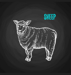Animal sheep in chalk style on blackboard vector