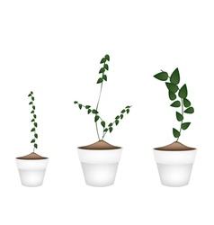 Three creeper plant in ceramic flower pots vector