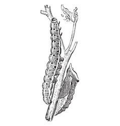 Larva and pupa of a large white cabbage butterfly vector