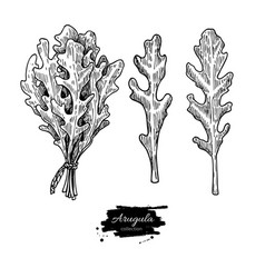 Arugula leaf hand drawn set vector