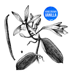 Vanilla plant hand drawn botanical vector
