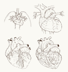 heart anatomy hand draw vector image