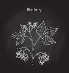 Blackberry garden plant vector
