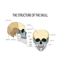 Anatomy of the human skull vector