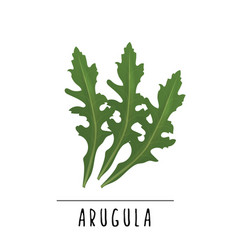 Arugula herbs and spices vector