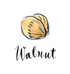 Watercolor ripe walnut vector