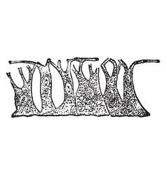 Epiderm cels vintage vector