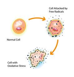 Cell oxidative stress vector