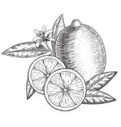 Hand drawn lime or lemon whole  sliced vector