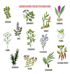 Best garden herbs for better digestion vector