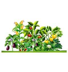 Fresh vegetable plants growing in the garden vector image