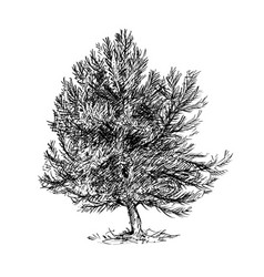 Cartoon drawing of pine conifer tree vector