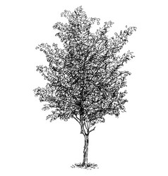 Cartoon drawing of beech tree vector