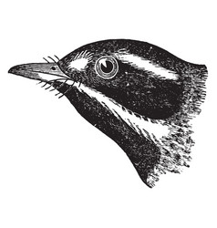 Black throated gray warbler vintage vector