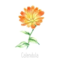 Watercolor calendula herbs vector