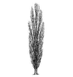 Cartoon drawing of poplar tree vector