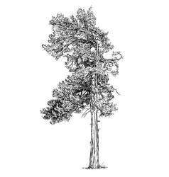 Cartoon drawing of pine conifer tree vector