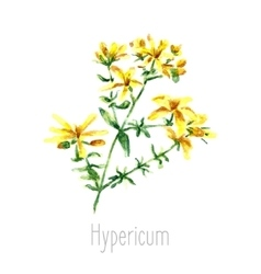 Watercolor hypericum herbs vector