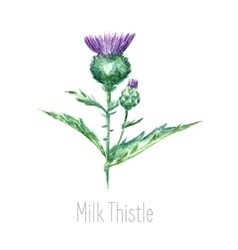 Watercolor milk thistle herb vector