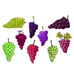 Bunches of green and red grapes vector