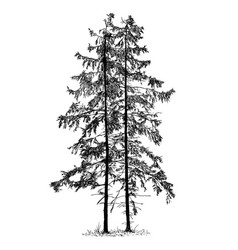 Cartoon drawing of spruce conifer tree vector