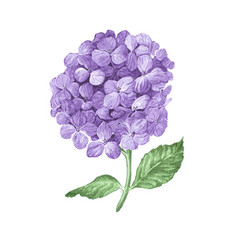 Lilac hydrangea flowers isolated on white vector