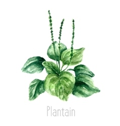 Watercolor plantain herbs vector