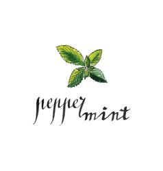 Fresh peppermint leaves vector