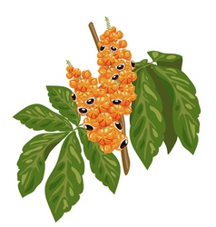 guarana branch with fruit and leaves vector image