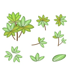 Isometric Dieffenbachia Picta Marianne Plant vector image vector image
