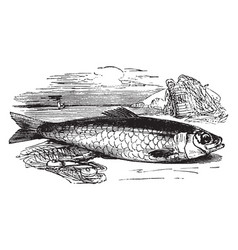 Atlantic herring vintage vector