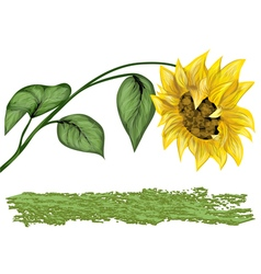 sunflower on white vector image vector image