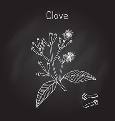 Clove natural spice vector