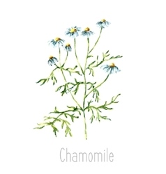 Watercolor chamomile herbs vector image