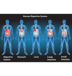 Digestive system vector image vector image