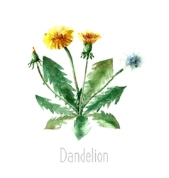 Watercolor dandelion herbs vector