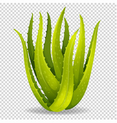 Aloe vera on transparent background vector