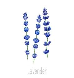 Watercolor celandine herb vector