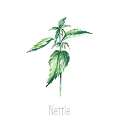 Watercolor nettle herbs vector