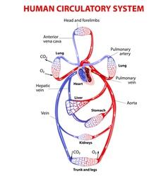 Cardiovascular circulatory system vector