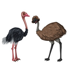 Emu and ostrich on white background vector