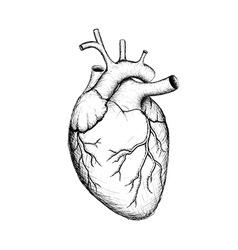 Human heart Stock vector image