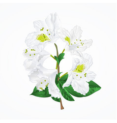White rhododendron twig vintage vector