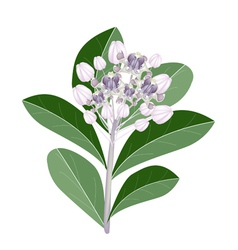 A group of fresh calotropis gigantea flowers vector