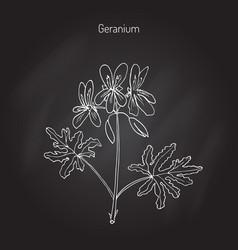 geranium or pelargonium vector image