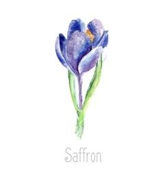 Watercolor saffron herb vector